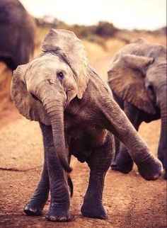 happy elephant :D ! Happy Elephant, Cute Baby Elephant, Cute Baby Animals, Animals And Pets, Funny Animals, Elephant Quotes, Elephant Facts, Amor Animal, Mundo Animal