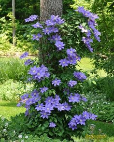 Clematis. I like the idea of crawling up a tree.  I need to get some to crawl up the front porch side.