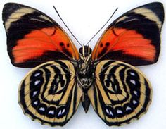 Top 10 Rare or Endangered Butterflies