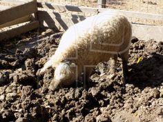 """Pork with fur"" by - Mostphotos Pork, Animals, Kale Stir Fry, Animales, Animaux, Animal, Animais, Pork Chops"