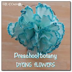 Dyeing flowers: this preschool botany lesson showing how plants take water from the ground will amaze kids! #science #handsonlearning || Gift of Curiosity