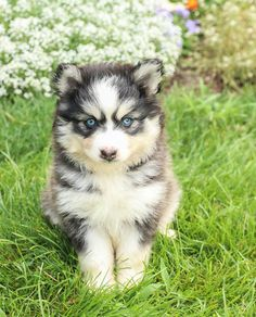 😍🐾Here is an #Adorable #Pomsky puppy that's just ready to wiggle his way into your heart! Ripple has #Beautiful markings and a nice fluffy coat that is perfect for cuddling. #Charming #PinterestPuppies #PuppiesOfPinterest #Puppy #Puppies #Pups #Pup #Funloving #Sweet #PuppyLove #Cute #Cuddly #Adorable #ForTheLoveOfADog #MansBestFriend #Animals #Dog #Pet #Pets #ChildrenFriendly #PuppyandChildren #ChildandPuppy #BuckeyePuppies www.BuckeyePuppies.com