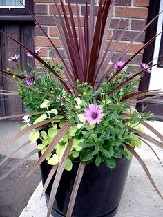, Container Flower Gardening Ideas: A = Red Cordyline B = Lamb's Ear C = Soprano Purple Osteospermum: Container Flower Gardening Ideas: Red Cordyline, L. , Container Flower Gardening Ideas: A = Red Cordyline B = Lamb's Ear C = Soprano P. Outdoor Plants, Garden Plants, Outdoor Gardens, Potted Plants Patio, Shade Garden, Plant Pots, Small Gardens, Outdoor Spaces, Miniature Gardens
