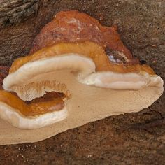 Although on a beech I believe this to be a Red Belted Polypore (Formitopsis Pinicola -  Roodgerande houtzwam)  #mushroom #mycology #fungi #fungus #paddestoel #paddenstoelen #natuur #macro #netherlands