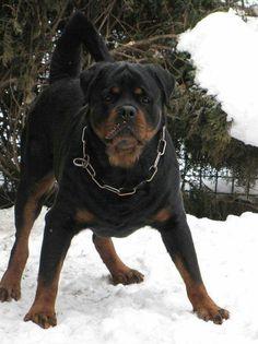 #Rottweiler