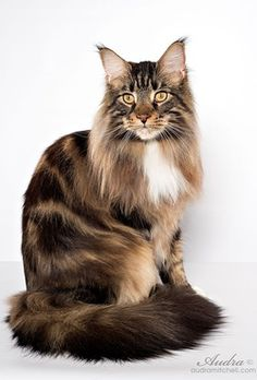 Maine Coon -Brown Classic Tabby and White