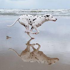 #dalmatians #dalmatian #dalmata #dalmatians_of_instagram #doglover #dogs_of_instagram #dogsofinstagram #picoftheday #dog #doggie #bestdog #dogoftheday #dalmatian_central #dog #doggie #dalmatianspotlight #igdogs #beachdog #beach #beachtime #fun #happydog #fast #doglover #dalmatian_feature #dog_features #running #myfriend #dogphotography #actionshot