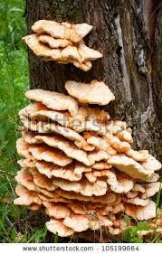 Image result for mushrooms on trees