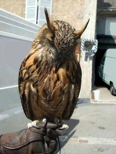 Tony's owl. Photo taken at 'la journée artisanale' - Le Dorat, France