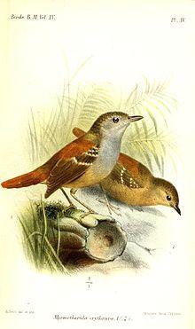 Rufous-tailed Antwren(Epinecrophylla erythrura)