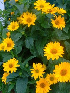 Heliopsis helianthoides (False Sunflower, Oxeye Sunflower) - Plant [invertebrate shelter, nectary, native]