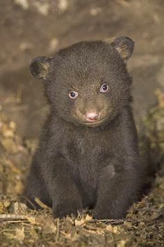 Black bear 7 week old Cub in den