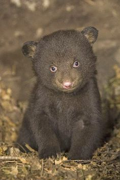 Black bear 7 week old Cub in den