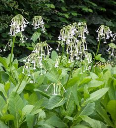 Buy Nicotiana sylvestris 'Only the Lonely' from Sarah Raven: Tall and stately with elegant, long, white trumpet flowers. A fantastic cut and border flower with lovely night scent. Meadow Garden, Plant Leaves, Long Flowers, Scent Garden, Cottage Garden Plants, Smelling Flowers, Back Gardens, Plants, Tall Plants