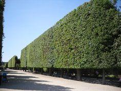 hornbeams as a hedge | ... Trees: Chanticleer Pear, Littleleaf Linden and Hornbeam Hedge