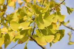 How to Grow a Gingko Tree in a Container
