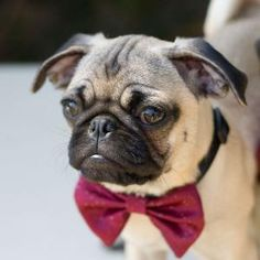 Am now getting bowties for my dogs...
