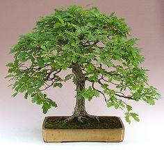 De kastanje en meer inheemse bomen als bonsai