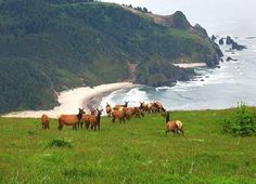 Elk on Cascade Head