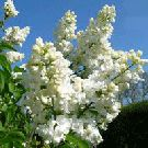 Lilac Bushes For Sale Online