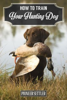 How to Train a Hunting Dog To Retrieve   Duck Hunt Dog