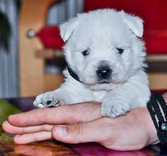 Westie Puppies, Westies, Bichons, West Highland White, White Terrier, Dance Art, Get Directions, Maltese, Pet Supplies