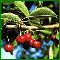 Kirschen, knackig und erfrischend Cherry, Fruit, Food, Inspiration, Cherry Tree, Cherries, Berries, Drawing S, Tips