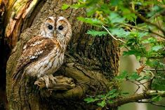 Tawny Owls (Strix aluco) are a resident, sedentary and highly territorial breeding species in the UK. They are responsible for the most commonly heard owl Strix Aluco, Grassland Habitat, Owl Facts, Owl Species, Wood Pigeon, Owl Wings, Tawny Owl, Photo Animaliere, Mystical Forest
