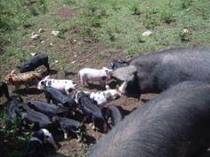 Porquinhos nascidos há uma semana.