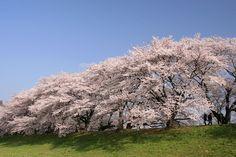 八幡市 背割堤の桜