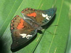 Euthalia amanda