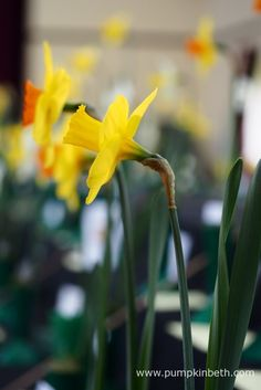 Cobham Village Hall was filled with daffodils for The Daffodil Society Mid Southern Group Spring Show 2016.