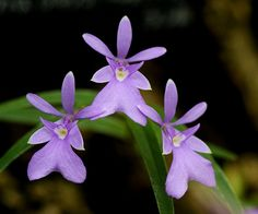 Epidendrum centradenium | from my archive 2010/1/20京都府立植物園/P… | Flickr