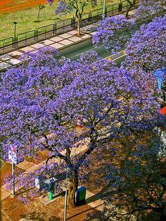 Jacaranda mimosifolia in full bloom, Pretoria, South Africa