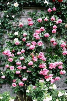 Rosas em profusão. Belíssimo!