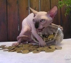 30 Reasons Why Sphynx Cats Are Not Just Cool, They're Super-Cool Animals And Pets, Funny Animals, Cute Animals, Baby Animals, Animals Kissing, Animal Memes, Cute Cats, Funny Cats, Grumpy Cats