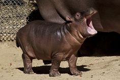 Hippo calf at the Zoo, Adhama, when he was just a few weeks old.