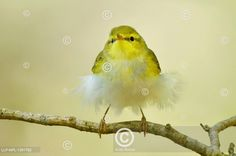 Budníček lesní , Phylloscopus sibilatrix  Wood Warbler Celebrity, Bird, Animals, Outdoor, Animales, Outdoors, Animaux, Celebs, Birds
