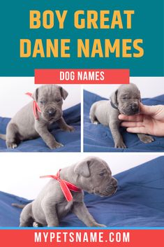 Why not grab inspiration from historical figures for boy Great Dane names, giving them a sense of importance. After all, there's no bigger ego boost than being called 'Alfred the Great'. Check out our list for more options.  #greatdanenames #boygreatdanenames #namesforagreatdane Puppy Names, Pet Names, Baby Animals, Funny Animals, Bunny And Bear, Handmade Dog Collars, Woodland Nursery Decor, Baby Deer, Animal Nursery