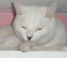 My white #cat, Midge. #welovewhitepets