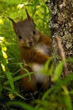 Red squirrel in the woods