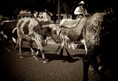 Get my 7 FREE basic photography tips - you NEED to know right here; http://pw5383.wixsite.com/free-photo-tips | Photographer Pernille Westh | Cowboy and Long Horn Cattle photographed in Texas · The Wild West