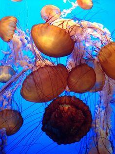 The amazing Monterey aquarium - Jelly Fish O incrível aquário de Monterey: http://ideiasnamala.com/2013/03/18/california-o-fantastico-aquario-de-monterey/