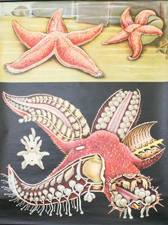 Vintage School Pull Down Chart Red Starfish Jung by BonnieandBell, £140.00