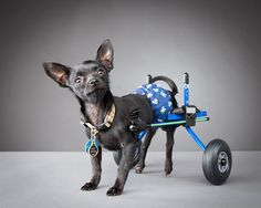 From Carli Davidson's Pets With Disabilities Project