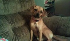 Amanda Desrosiers-Barry‎CT Lost Pets https://www.facebook.com/CT.Lost.Pets/posts/847741135347763 tan brown   Barby is Missing in Norwichtown/Bozrah area off of Browning Rd. Please call 8609173137.
