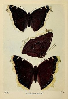 (1) Tumblr  the butterflies of the british isles 1906  biodiversitylibrary.org/page/38718233