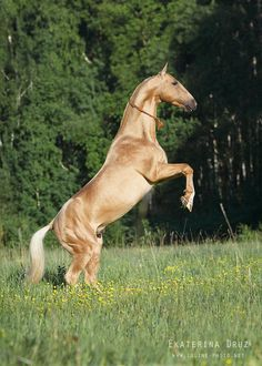 A Spectacular Looking Rearing Akhal Teke Palomino. Most Beautiful Horses, All The Pretty Horses, Animals Beautiful, Palomino, Zebras, Rare Horse Breeds, Akhal Teke Horses, Majestic Horse, Horse Pictures