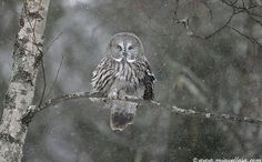 Great Grey Owl ~ blends with environment.