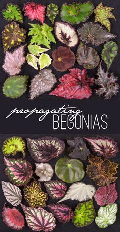 Who knew propagating begonias could be so easy? Cut, place in water til roots grow, plant.